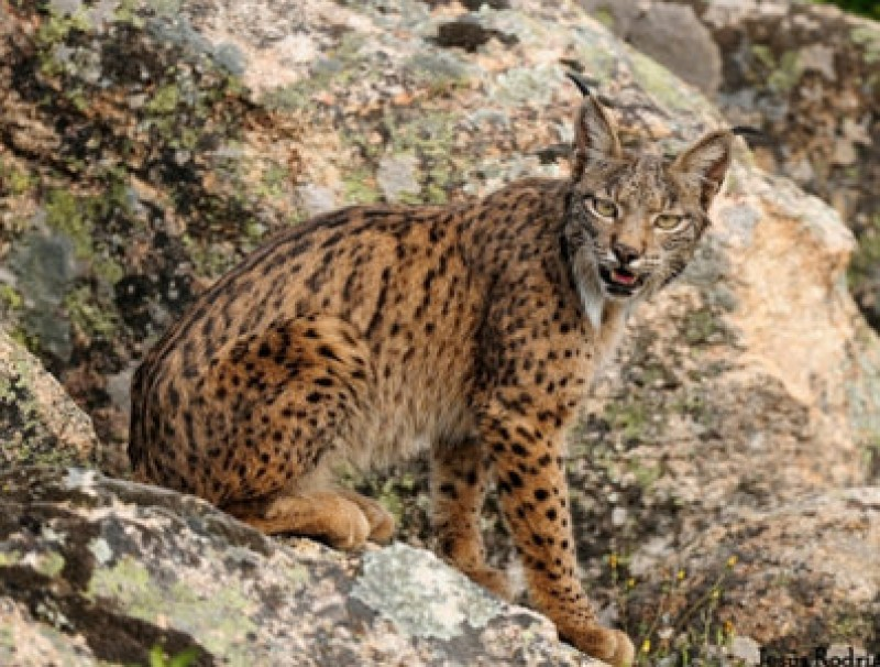 Northern Murcia could become home to the Iberian lynx
