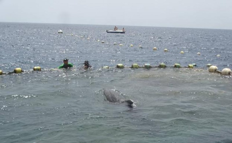 """<span style='color:#780948'>ARCHIVED</span> - Three bottlenose dolphins freed from the """"almadraba"""" fishing nets in la Azohía"""